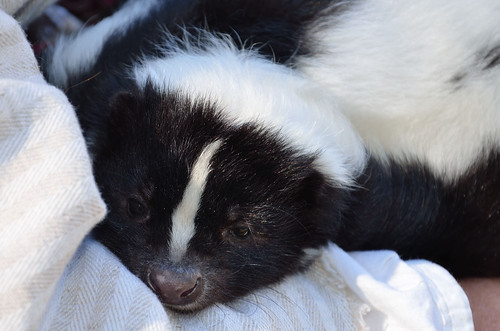 Pet Skunk | Flickr - Photo Sharing!
