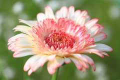 Gerbera (Spice  Trying to Catch Up!) Tags: pink light shadow wild plants white flower macro green nature japan canon geotagged eos petals stem october asia colours dof bokeh spice blogger livejournal gerbera  vox    gettyimages 2010 facebook  friendster multiply   twitter ibarakiken  mixedflowers  flowersarebeautiful  canoneos7d twitpic excellentsflowers  exquisiteflowers mimamorflowers  flickrflorescloseupmacros