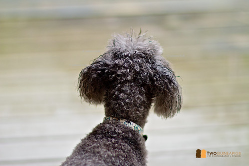 twoguineapigs pet photography poodle portrait