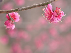 Prunus mume (yubomojao) Tags: japan expo plum   osaka    fllower bestcapturesaoi