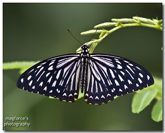Common Mime (magforce) Tags: nature butterfly insect singapore commonmime