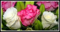 TRIO (vicki127.) Tags: pink flowers roses white green leaves canon300d border bud soe picnik lillys digitalcameraclub absolutelyperfect youmademyday flickraward flowersmacroworld macroflowerlovers february2011 wonderfulworldofflowers 100commentgroup flickrflorescloseupmacros mygearandme ringofexcellence vickiburrows vicki127