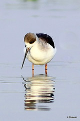 Black Winged Stilt.. (K. Shreesh) Tags: india birds pune naturesfinest supershot kavdi eos50d ef400f56l beautifulworldchallenges