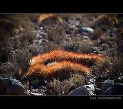 Atacama Flora [9212] (josefrancisco.salgado) Tags: chile road flora nikon desert carretera desierto nikkor cl sanpedrodeatacama desiertodeatacama atacamadesert repúblicadechile 70300mmf4556gvr republicofchile d3s iiregióndeantofagasta provinciadeelloa osftoaosroad
