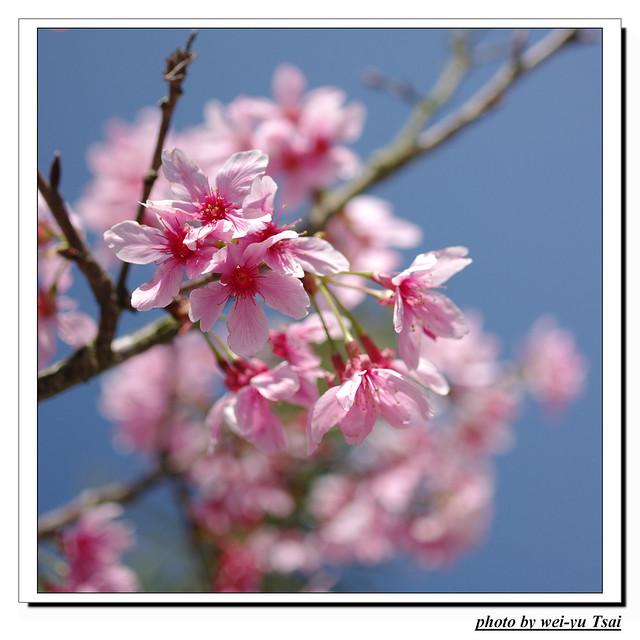 日月潭~櫻花~