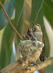 MOTHER AND CHICKS (sea25bill) Tags: california usa tree nature nest wildlife chicks hungry avian annashummingbird santabarbaracounty openbeaks