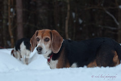 Duke (Vicki Lund Photography) Tags: trees winter snow green colors 50mm landscapes woods raw tyson photographer seascapes natural bokeh fineart maine duke naturallight canine february beagles snowcoveredtrees petphotography longears 2011 petportraiture nikond90 canineportraiture fineartpetportraiture coldtrees mainetrees vickilundphotography colorsnatural depth~of~field copywrite wwwvickilundphotographycom