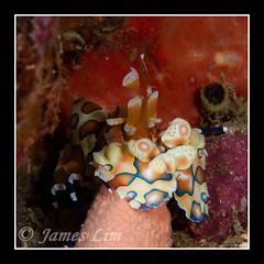 Harlequin Shrimp 10 (hloc) Tags: scubadiving similanisland