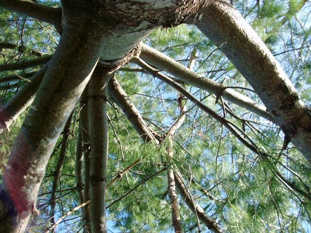 tree climbing 030