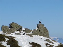 sziklalalók / highlanders (debreczeniemoke) Tags: winter mountain bird hiking top hegy transylvania transilvania height highlanders corvuscorax gutin erdély commonraven tél túra madár magaslat csúcs kakastaréj canonpowershotsx20is creastacocoşului közönségesholló sziklalalók corbcomun