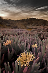 cover (gobo_x) Tags: sf plants flower landscape ir coast pentax dunes voigtlander iceplant infrared bloom modified 20mm succulents k7 fullspectrum fauxcolor californiatnc11 bw099filter ggnpc11