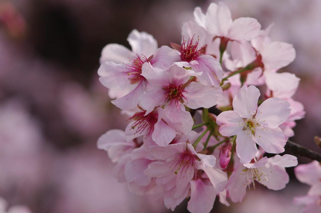 3月5號的天元宮吉野櫻
