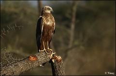 Opps!! I broke the Tree (Vinay Narayana Swamy) Tags: sony bangalore alpha westernmarshharrier eurasianmarshharrier circusaeruginosus a700 marshharrier sonyalpha bangalorebirds 70400 hesaraghattalake alpha700 sonya700 sal70400 sony70400g