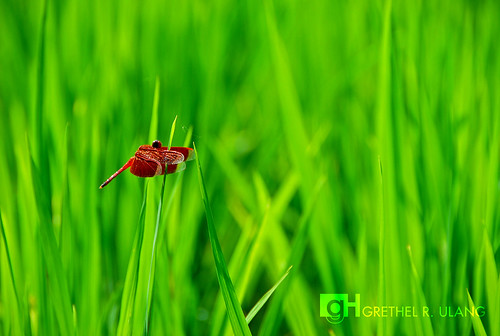 dragonfly in a rice filed