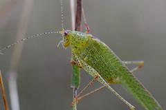 Grasshopper  [ Canon 1000D XS REBEL] [ Canon 70 200 F4 L] [Kenko Extension tube] (Mayur Kotlikar) Tags: macro up grass canon rebel close tube gimp ii f 20mm extension mm xs 18 50 hopper kenko 1000d