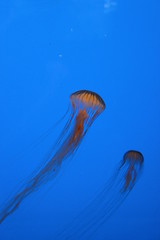 Balade  l'aquarium... (Virgille) Tags: mduse