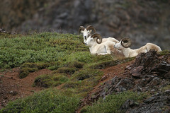 Dall sheep-9.jpg