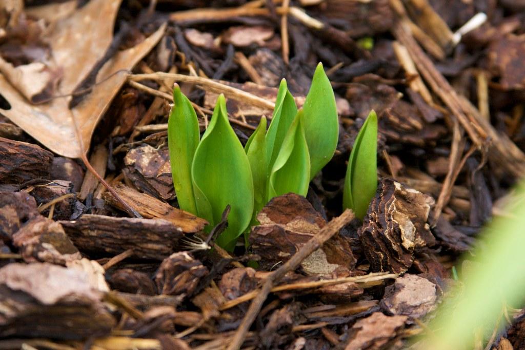 tulip March 12, 2011