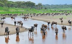 Wildebeests (Werner Bollmann) Tags: serengeti wildebeest tansania