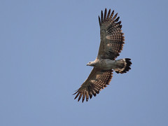Grey Headed Fishing Eagle (Ichthyophaga ichthyaetus), spotted at Mogarkasa.