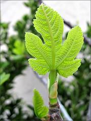 New fig leaf