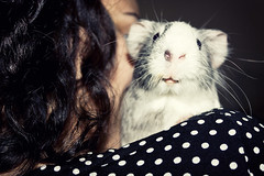 Bela (Gjore) Tags: pet white home canon grey guineapig bath sweet adorable towel shoulder bela hunny 450d