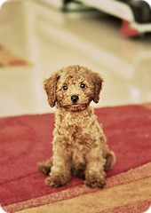 i look rather dashing eh? (girl enchanted) Tags: red cute puppy toy poodle pinocchio toypoodle poodlepuppy redpoodle