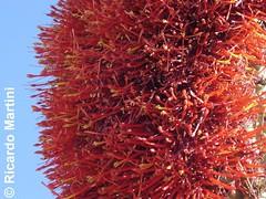 Quintral de Quisco (Tristerix apyllus) (Chilebosque) Tags: del quisco loranthaceae quintral tristerix aphyllus tristerixaphyllus parsitas