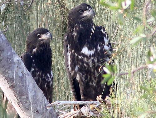 Eaglets 2-20110323
