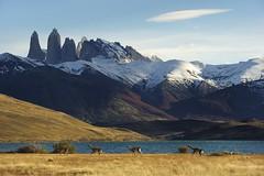 Carrera de guanacos (Carlos_Díaz) Tags: chile patagonia torresdelpaine guanaco lagunaazul specnature nikond3