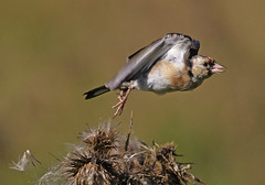 European Goldfinch : In the wind ... (Clement Tang ** Busy **) Tags: autumn bird nature inflight afternoon feeding wildlife australia victoria avian seedpod birdwatcher scotchthistle cardueliscarduelis europeangoldfinch cottonthistle closetonature concordians slbtakeoff candlebarkpark onpordumacanthium