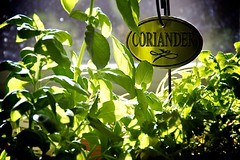 Coriander, Basil, Oregano and Rosemary (lynn.h.armstrong) Tags: camera light plants sun sunlight ontario canada black green art window kitchen sign lens geotagged photography photo interesting mac aperture nikon long flickr afternoon zoom herbs bokeh south lynn pots h basil nikkor coriander armstrong herb stormont vr afs gettyimages dx sault ingleside 2011 ifed 18200mm f3556 attributionnoderivs vrii d7000 ccbynd lynnharmstrong requesttolicence