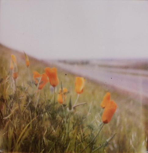 poppy pola-0107