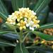 pitosphorum flower