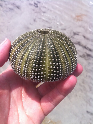 found urchin at key biscayne