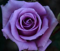 enjoyment (ranchodon) Tags: excellentsflowers