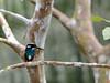 Silvery Kingfisher (Alcedo argentata) (Bram Demeulemeester - Birdguiding Philippines) Tags: philippines mindanao zamboanga pasonanca silverykingfisher bramdemeulemeester birdguidingphilippines philippinesbirdingtours