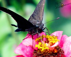 Parque do Eloy Chaves (Aneli Adriani) Tags: pink sun hot verde green sol yellow canon butterfly anne eos saopaulo natureza flor rosa sp borboleta calor amarela jundia s5is nibelunga aneliadrianifigueiredo ensoladado parquedoeloychaves