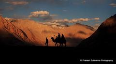 Bactrian camel- Nubra Valley, Leh, Ladakh. (prakash_subbanna) Tags: bactriancamel nubravalley hunder sanddunes leh ladakh canon prakashsubbanna bangalore india