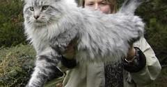 American Maine Coons Cat via http://ift.tt/29KELz0 (dozhub) Tags: cat kitty kitten cute funny aww adorable cats