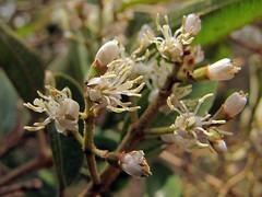 Miconia burchellii (Mauricio Mercadante) Tags: white cerrado branca melastomataceae miconia taxonomy:genus=miconia miconiaburchellii pixirica taxonomy:binomial=miconiaburchellii