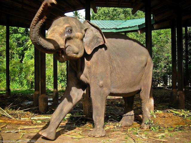 Танцующая слониха