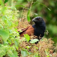 Greater Coucal (Centropus sinensis) (Sir Mart Outdoorgraphy) Tags: birds magazine education nikon photographer bokeh outdoor birding best malaysia penang indah birdwatching birder juru butterworth unik nikonian d90 gutgut bairam menarik nikonuser butbut jurugambar penangflickr greatercoucalcentropussinensis sigma150500 sirmart outdoorgraphy penangflickrgroup sgsemilang crowpheasants