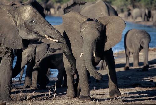 [Free Image] Animals, Mammalia, Elephantidae, Elephant, 201102021100