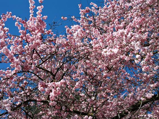 Vancouver Cherry Blossom Festival 2009