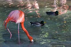 Zoo (StormCoat) Tags: california bird nature canon vintage zoo focus colorful sandiego asahi takumar flamingo 55mm adapter m42 mallard manual f18 sandiegozoo smc balboapark 40d
