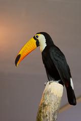 DSC_0992 (Wert2807) Tags: bird nature yellow d50 zoo toucan nikon russia siberia novosibirsk itsazoooutthere wert2807