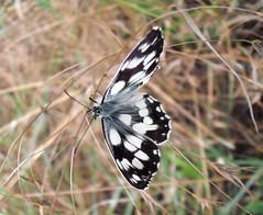 Marbled white, 2011 (andraszambo) Tags: macro nature butterfly insect chess meadow természet rovar makró lepke rét sakktábla