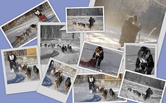 Day At The Races (Rebeak) Tags: snow building dogs alaska race screenprint trail numbers crop wintergear sled fairbanks sleddogs bibs canines racinggear racedogs nikond40nikon frostyair picasa3 rebeak mushershall manywinters alaskanshelly