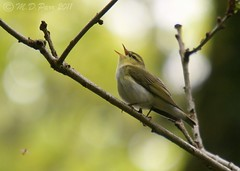 Wood Warbler (Phylloscopus trochilus) (M.D.Parr) Tags: uk bird nature birds wales spring singing natural britain song wildlife ngc british ornithology martinparr oakwoods elanvalley naturephotos woodwarbler phylloscopustrochilus natureimages spinningcoin viveironaturaldeaves